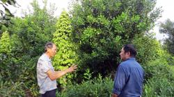 Nhìn lại 5 năm phát triển cây mắc ca ở Việt Nam: 23 tỉnh trồng, diện tích 16.400ha