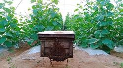 Bình Thuận: Nông dân thả ong vào vườn dưa lưới công nghệ cao trồng trong nhà màng để làm gì?