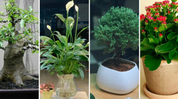 4 loại cây trồng trong nhà có thể giúp trừ tà khí, xua đuổi vận đen, tài lộc kéo đến