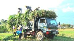 Bình Định: Lạ, trồng bắp chưa kịp ra trái mà đã cắt cả cây bán sạch, tiền thu về nhiều hơn bán hạt