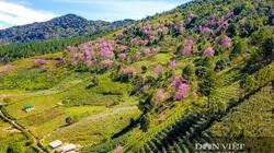 Rừng hoa mai anh đào nở rộ dưới chân núi Langbiang đẹp cỡ nào mà khách đến đây xong không muốn về?