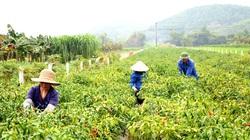 Trồng ớt Thái trái ăn cay chảy nước mắt giá bán tăng gấp 10 lần, cứ 1 sào nông dân ăn chắc 40 triệu