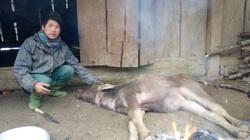 Sơn La: Gần 100 con trâu, bò, nghé, bê non bị chết rét mặc dù được nông dân đốt lửa sưởi ấm cả đêm