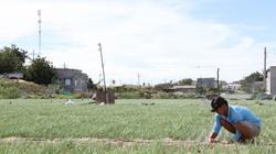 Ninh Thuận: Giá bán đang cao chót vót, dân ở đây phấn khởi trồng loài cây này bán Tết