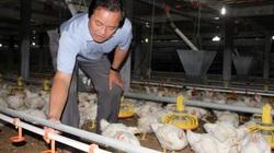 """Giá gia cầm hôm nay: Giá gà thấp, ở đây ông chủ trại gà lạnh vẫn lãi tiền tỷ nhờ """"chiêu"""" này"""