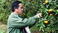 Lạng Sơn: Cây quýt đặc sản Bắc Sơn ra quả sai đột biến, ăn nửa chua nửa ngọt là mắc bệnh gì?
