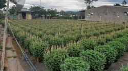 Gia Lai: Nhiều nông dân trồng hoa cúc chưng Tết lo ế hàng vì điều này