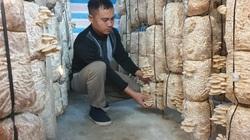 Thái Bình: Trồng nấm bào ngư mọc từng chùm, càng rét hái bán càng hút hàng, bỏ túi hàng trăm triệu/năm