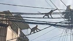 """Đàn khỉ lang thang """"tung hoành"""" giữa khu phố ở TP.HCM, người dân bất an, đóng cửa """"im thin thít"""""""