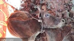 Quảng Trị: Bác bỏ tin một xã có gần 400 con trâu, bò chết rét