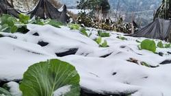 Đã có bao nhiêu con trâu, bò, ngựa, dê bị chết rét trong đợt mưa tuyết, băng giá?