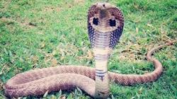 Bạn có biết cách phân biệt những loài rắn độc ở Việt Nam?