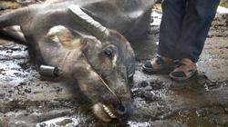 60 con trâu, bò, dê, nghé, lợn ở miền núi tỉnh Yên Bái chết rét