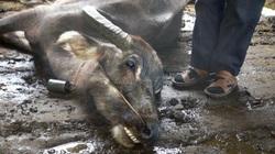 TT-Huế yêu cầu lập đoàn kiểm tra sau vụ hơn 900 gia súc tại một huyện chết rét