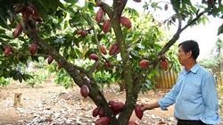 Đồng Nai: Trồng cây ca cao, nhìn đâu cũng thấy trái, dân hái bán cho công ty cứ 1ha lời tới 100 triệu