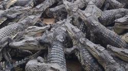 """Cám cảnh nuôi cá sấu: Bán cá sấu không ai mua, nông dân bấm bụng """"nuôi báo cô"""" không biết đến bao giờ"""
