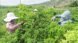 Ninh Thuận: Thứ cây dễ trồng, ít tốn công chăm, hái trái mỏi tay, nông dân trúng đậm