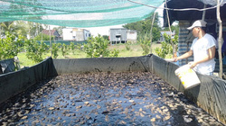 An Giang: Làm bể trên cạn nuôi ếch Thái Lan toàn con bự, thò tay xuống là bắt được cả đám