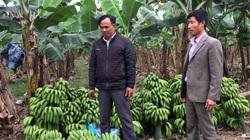 """Yên Bái: Tỷ phú nông dân có 40ha đất trồng đủ thứ cây, riêng cây chuối """"đẻ"""" ra 3 tỷ/năm"""