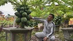 Độc đáo vườn đu đủ bonsai trĩu quả giá bạc triệu hút khách mua chơi Tết