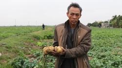 Thu hàng trăm triệu đồng từ trồng khoai tây Hà Lan