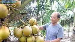 Lạc vào khu vườn trồng 100 cây dừa của một ông nông dân tỉnh Quảng Ngãi, cây thấp tè đã ra nhiều trái to bự