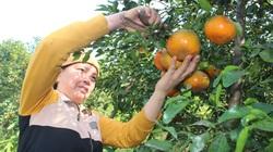 Hà Tĩnh: Giống cam từng chỉ dành cho vua chúa chín đỏ vườn đồi, thương lái tranh nhau mua