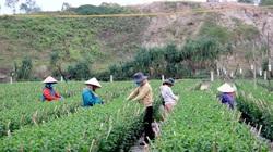 Đà Nẵng: Sát Tết mà các làng hoa vẫn vắng bóng thương lái, nông dân ruột nóng như lửa
