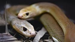 Hoảng hồn, người đàn ông dành 72 giờ chung sống với 72 con rắn kịch độc