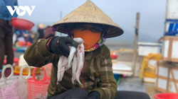 Hà Tĩnh: Loài cá biển ngày xưa chỉ để cho heo, nay trở thành đặc sản, dân đi bắt thu tiền triệu mỗi ngày