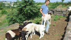 Công ty chuyên dọn dẹp cảnh quan sân vườn bằng cách... chăn cừu