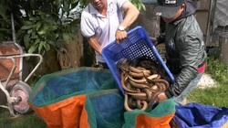 Một ông nông dân tỉnh Đồng Tháp bắt hàng tấn lươn không bùn toàn con to bự, thương lái tấp nập đến mua