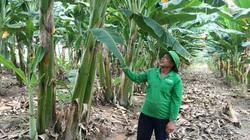 Chuối sáp là giống chuối gì mà một ông nông dân tỉnh An Giang chỉ lo trồng không lo bán?