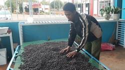 Gia Lai: Nông dân trồng cà phê kiểu gì mà bán được giá cao, 8.500 đồng/kg cà phê tươi?