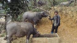 Lào Cai: Nhà nông vùng cao cho trâu uống nước nóng, ăn cám ngô hoà muối để chống rét