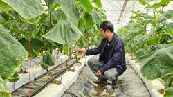 Lạc vào khu vườn công nghệ cao ở tỉnh Điện Biên, cây dưa chuột to hơn ngón tay cái, trái lủng lẳng, ăn giòn tan
