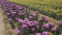 Dân làng trồng hoa cúc đất lớn nhất tỉnh Quảng Nam tất bật chăm hoa với mong mỏi một điều này thôi