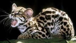 Mèo đốm margay - loài động vật đáng yêu nhưng đang đứng trước nguy cơ tuyệt chủng