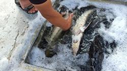 Lo ngại: Phát hiện cá tầm nhập khẩu bán ở chợ Yên Sở, Bình Điền không rõ nguồn gốc, không qua kiểm dịch