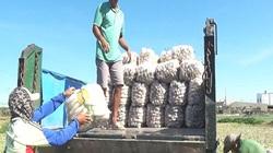 Bình Thuận: Trồng củ cải, cứ 1 sào dân đào được 15 tấn, nhưng bán 1 tạ củ chưa mua nổi 1 ký thịt heo