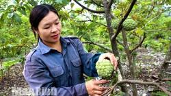 Ninh Bình: Trồng na ra quả trái vụ, cắt 5 tấn trái nào cũng to bự, nông dân làng này trúng lớn