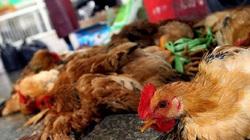 Cà Mau: Cận Tết, đột nhiên xuất hiện ổ dịch cúm gia cầm H5N1, tiêu hủy 1.600 con gà