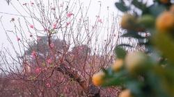"""Clip: Mừng vì """"trời cho"""", người trồng đào, quất phấn khởi hy vọng vụ Tết """"ấm"""""""