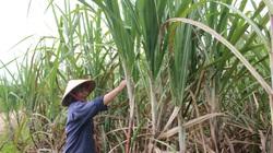 """Đồng Nai: Nghề ép mía, nấu đường """"chết"""" theo giá mía và nhà máy đường"""