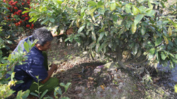 Nghề lạ ở tỉnh Long An: Giáp Tết cứ rủ nhau ra vườn hì hục đào gốc cây, ngơi tay có ngay 1 triệu