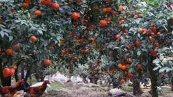 Mê mẩn vườn cam đẹp như tranh của chị nông dân Bắc Giang, mỗi năm hái 120 tấn quả, bỏ túi 4 tỷ