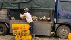 Giá gia cầm hôm nay 30/1: Cập nhật giá các loại gà, vịt mới nhất
