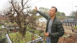 """Hà Nội: Đào Nhật Tân hàng chục năm tuổi được """"săn đón gắt gao"""", có người ngã giá cả trăm triệu về chưng Tết"""