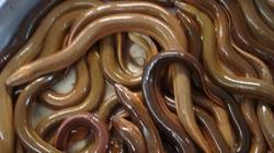 Vì sao giá lươn thịt ở tỉnh Hậu Giang giảm 15-25.000 đồng/ký, giá lươn giống lại tăng 5.000 đồng/con?