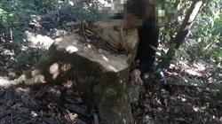 Gia Lai: Hàng chục cây gỗ bị đốn hạ, xẻ hộp ngay tại rừng phòng hộ